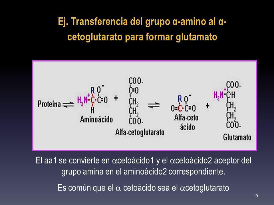 Es común que el  cetoácido sea el cetoglutarato