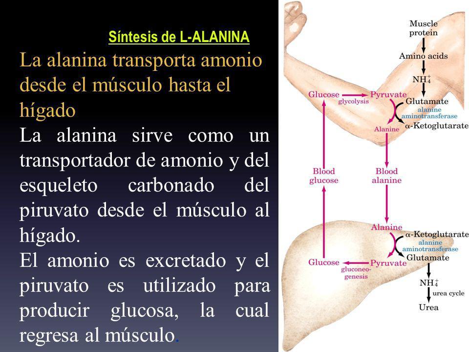 La alanina transporta amonio desde el músculo hasta el hígado