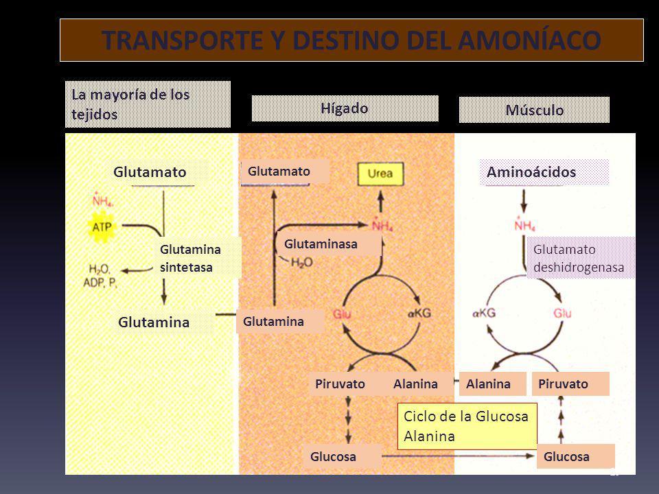 TRANSPORTE Y DESTINO DEL AMONÍACO