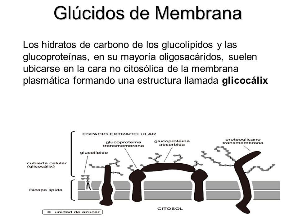 Glúcidos de Membrana