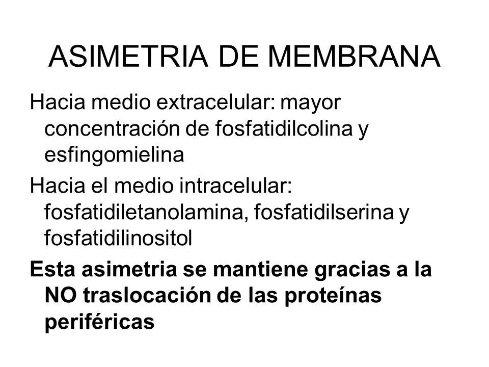 ASIMETRIA DE MEMBRANA Hacia medio extracelular: mayor concentración de fosfatidilcolina y esfingomielina.