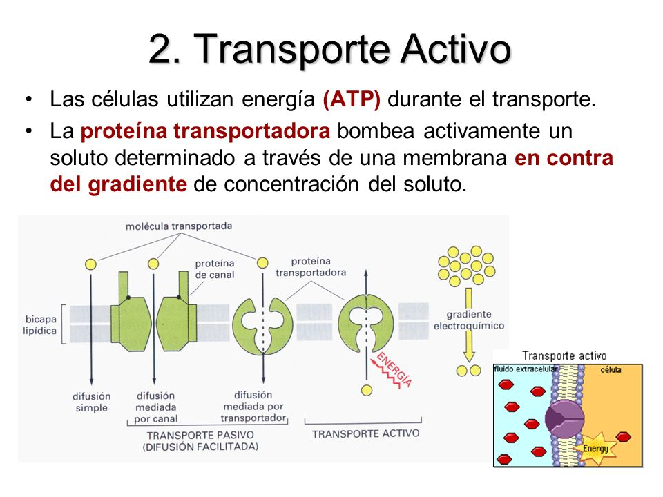 2. Transporte ActivoLas células utilizan energía (ATP) durante el transporte.