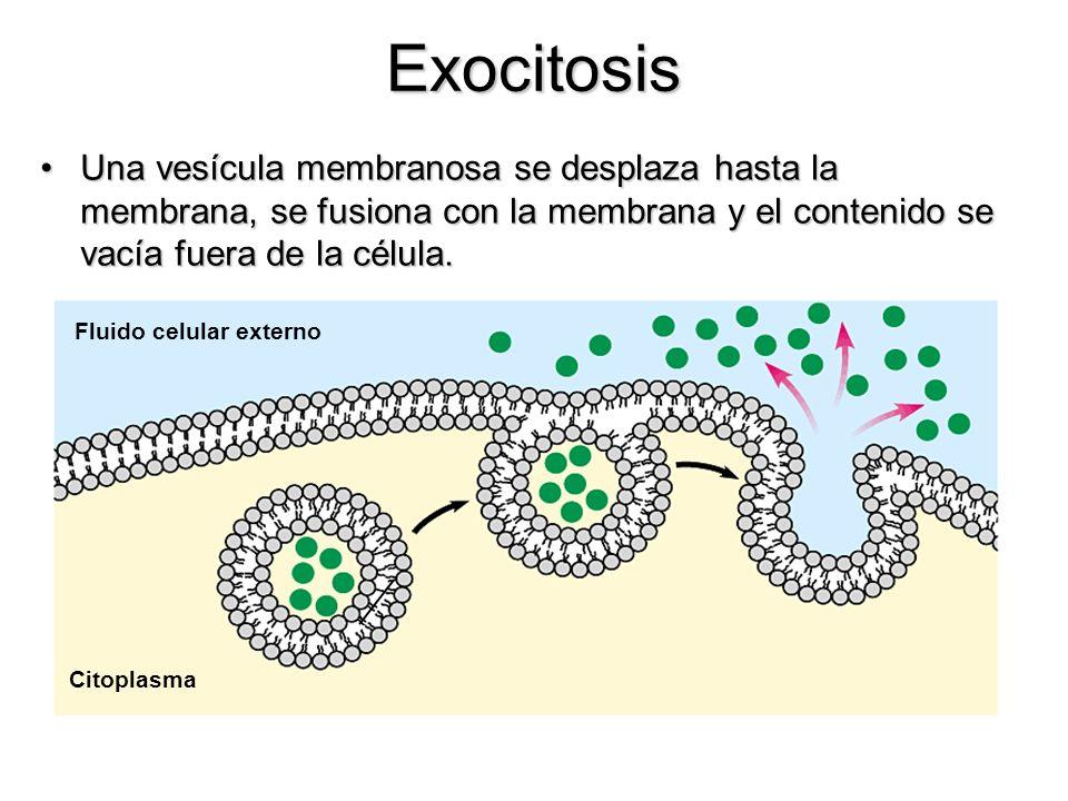 ExocitosisUna vesícula membranosa se desplaza hasta la membrana, se fusiona con la membrana y el contenido se vacía fuera de la célula.