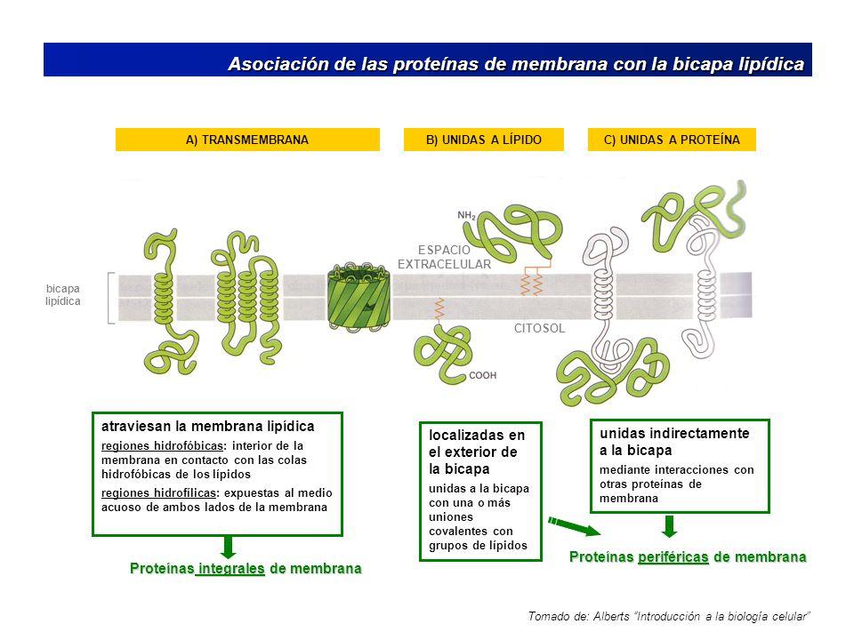 Proteínas periféricas de membrana Proteínas integrales de membrana