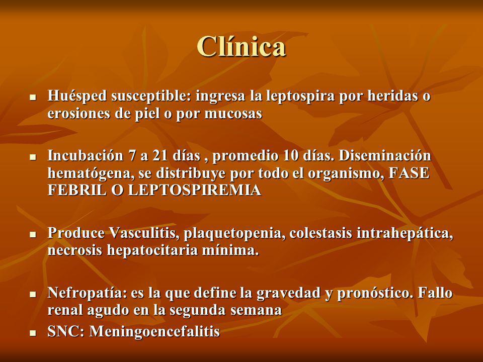 Clínica Huésped susceptible: ingresa la leptospira por heridas o erosiones de piel o por mucosas.