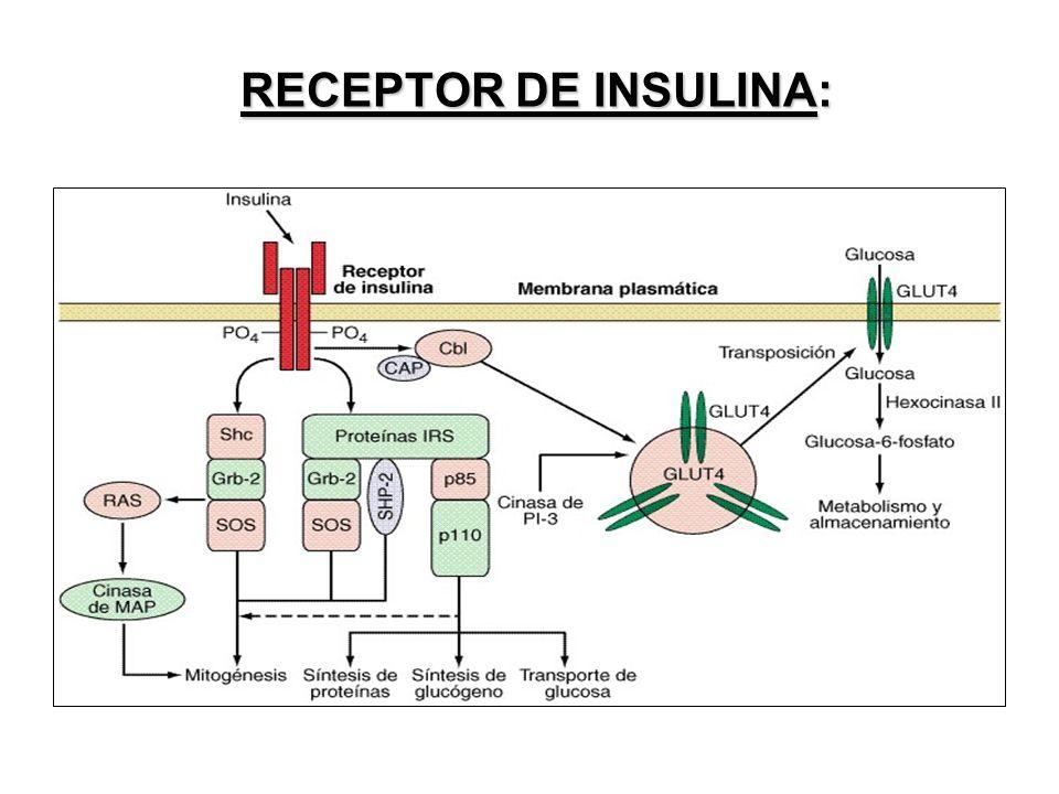 RECEPTOR DE INSULINA: