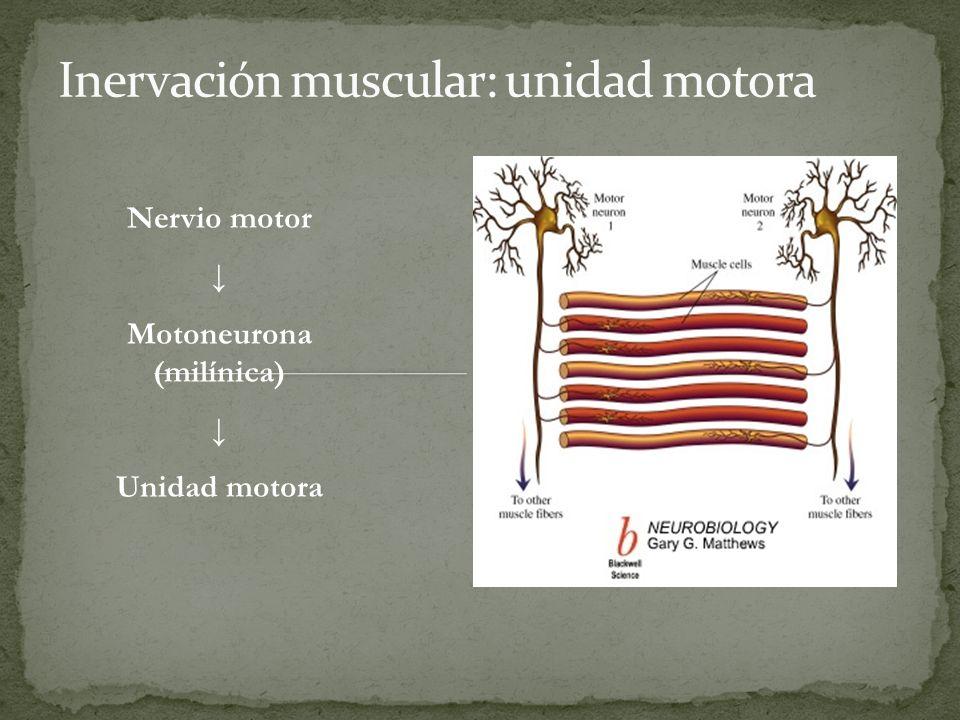 Inervación muscular: unidad motora