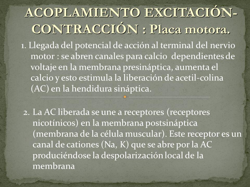 ACOPLAMIENTO EXCITACIÓN-CONTRACCIÓN : Placa motora.