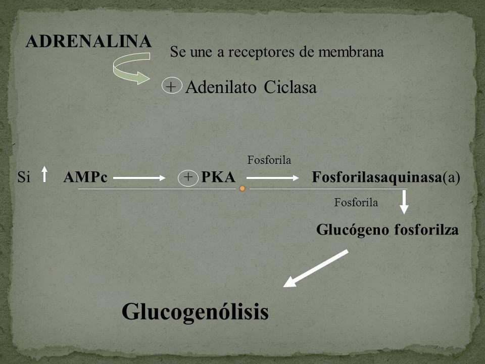 Glucogenólisis ADRENALINA + Adenilato Ciclasa