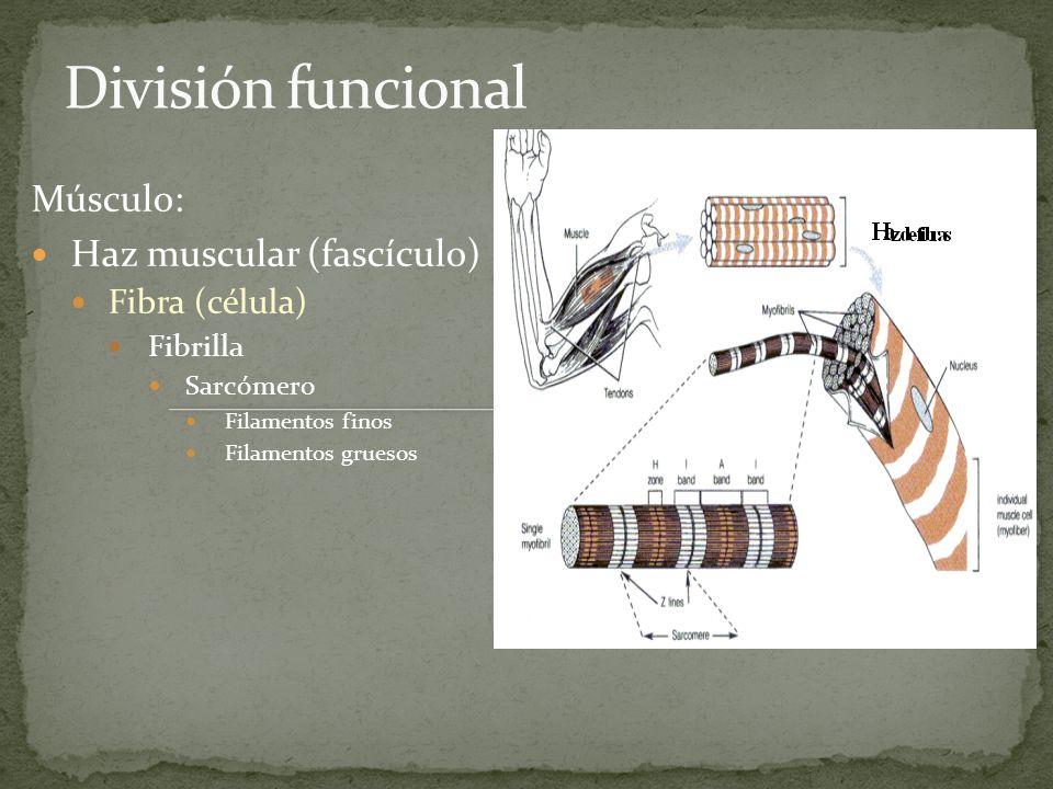 División funcional Músculo: Haz muscular (fascículo) Fibra (célula)