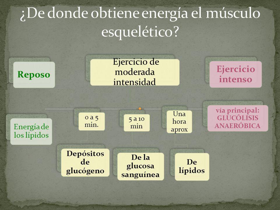 ¿De donde obtiene energía el músculo esquelético