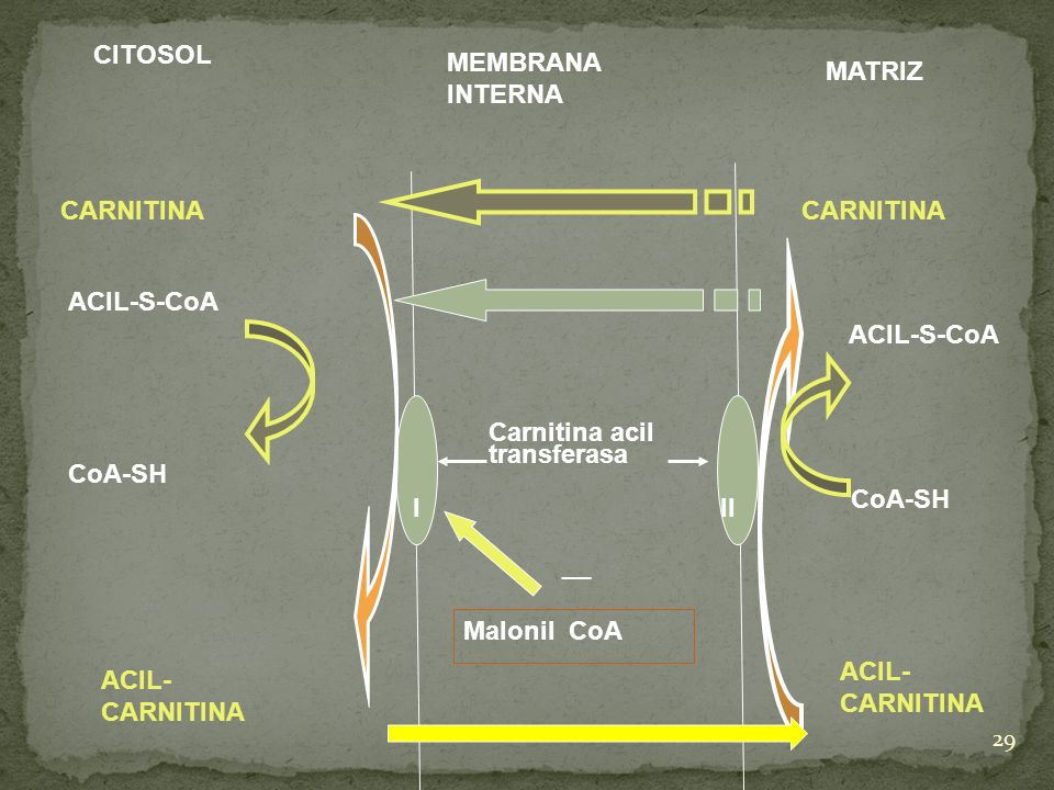 CITOSOL MEMBRANA INTERNA. MATRIZ. CARNITINA. CARNITINA. ACIL-S-CoA. ACIL-S-CoA. Carnitina acil transferasa.