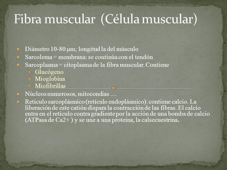 Fibra muscular (Célula muscular)