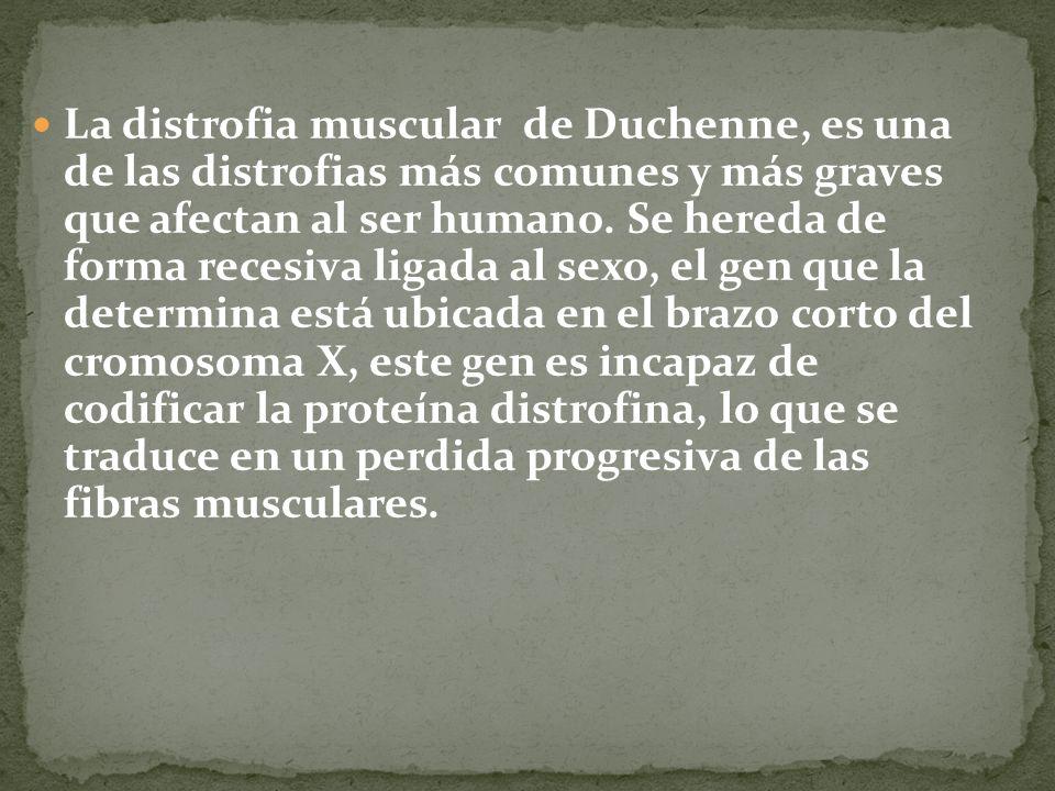 La distrofia muscular de Duchenne, es una de las distrofias más comunes y más graves que afectan al ser humano.