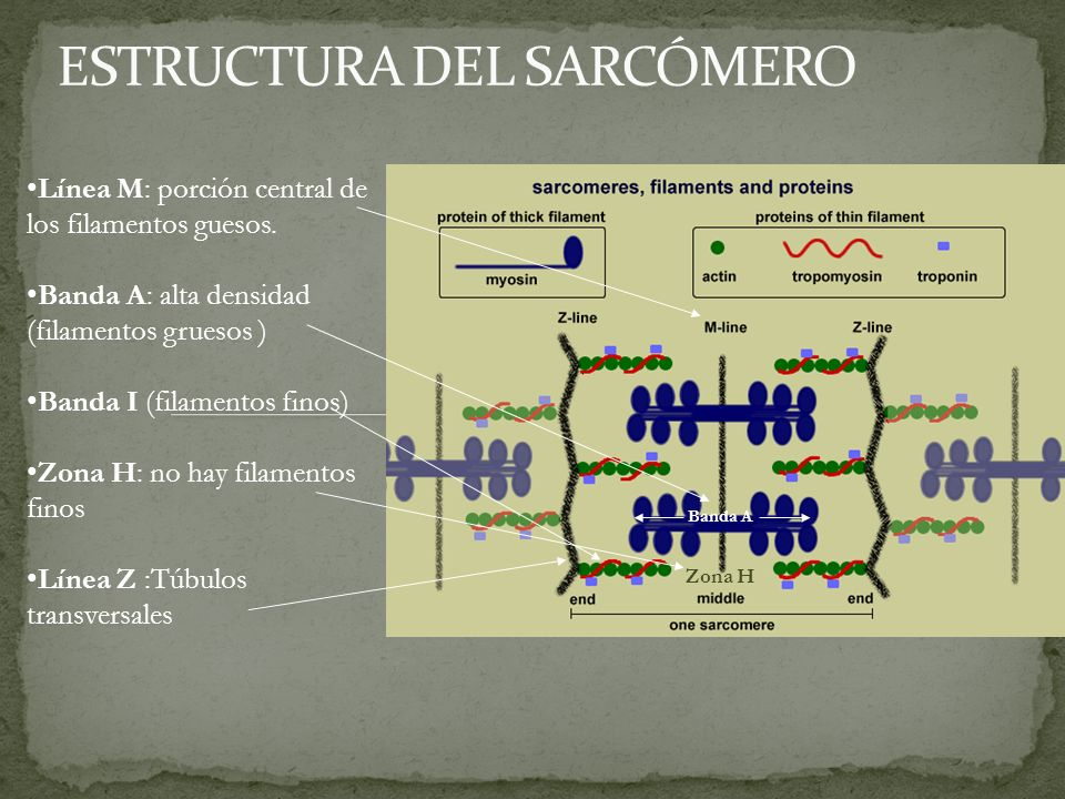 ESTRUCTURA DEL SARCÓMERO