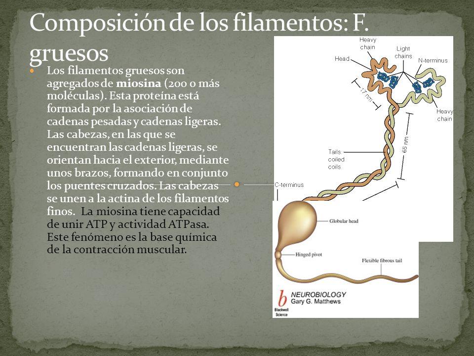 Composición de los filamentos: F. gruesos