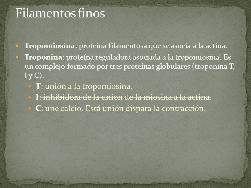 Filamentos finos T: unión a la tropomiosina.