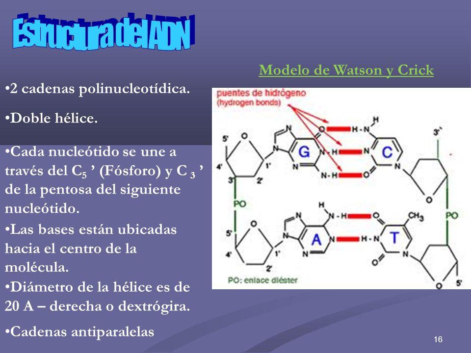 Estructura del ADN Modelo de Watson y Crick