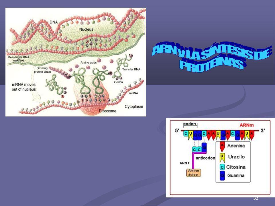 ARN y LA SÍNTESIS DE PROTEÍNAS 33