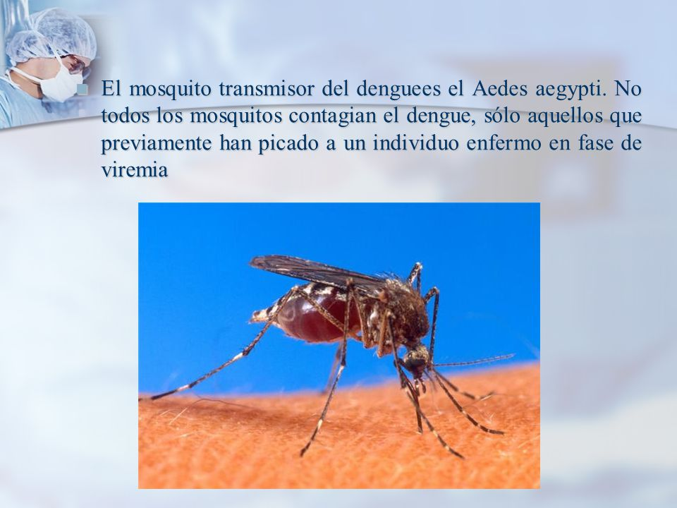 El mosquito transmisor del denguees el Aedes aegypti