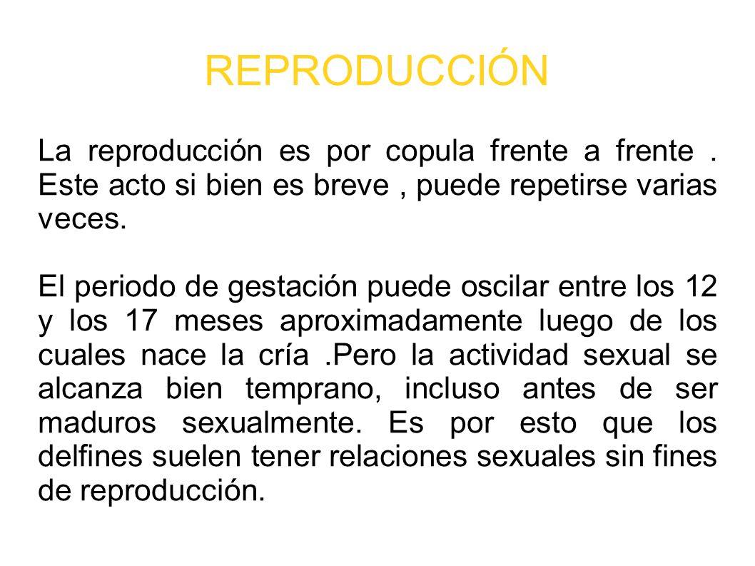 REPRODUCCIÓN La reproducción es por copula frente a frente . Este acto si bien es breve , puede repetirse varias veces.