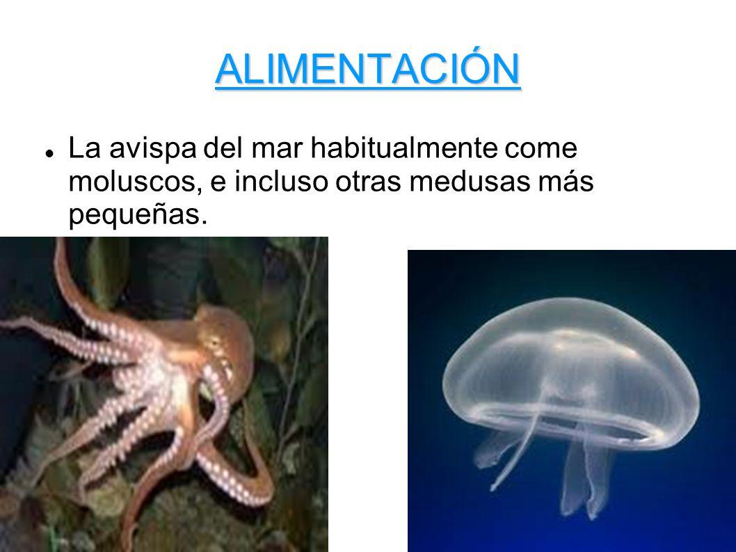 ALIMENTACIÓN La avispa del mar habitualmente come moluscos, e incluso otras medusas más pequeñas.