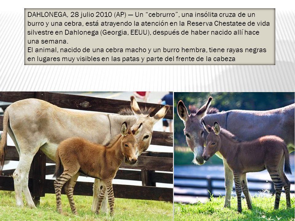 DAHLONEGA, 28 julio 2010 (AP) — Un cebrurro , una insólita cruza de un burro y una cebra, está atrayendo la atención en la Reserva Chestatee de vida silvestre en Dahlonega (Georgia, EEUU), después de haber nacido allí hace una semana.
