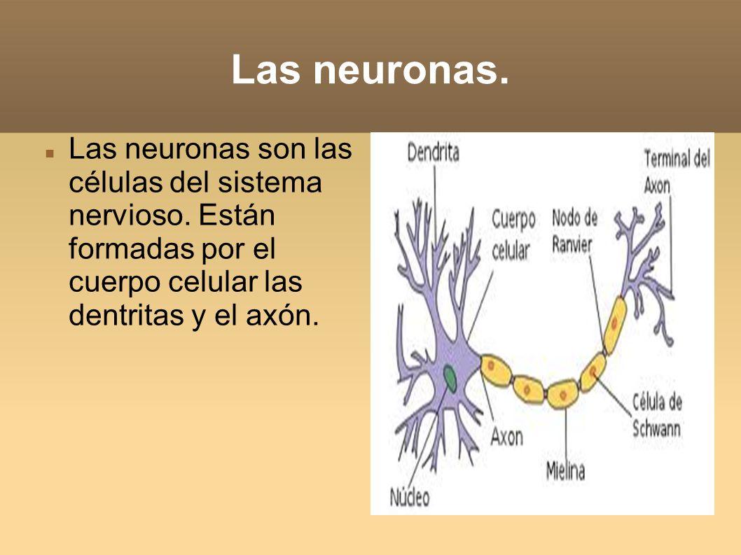 Las neuronas. Las neuronas son las células del sistema nervioso.
