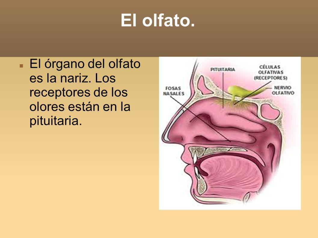 El olfato. El órgano del olfato es la nariz.
