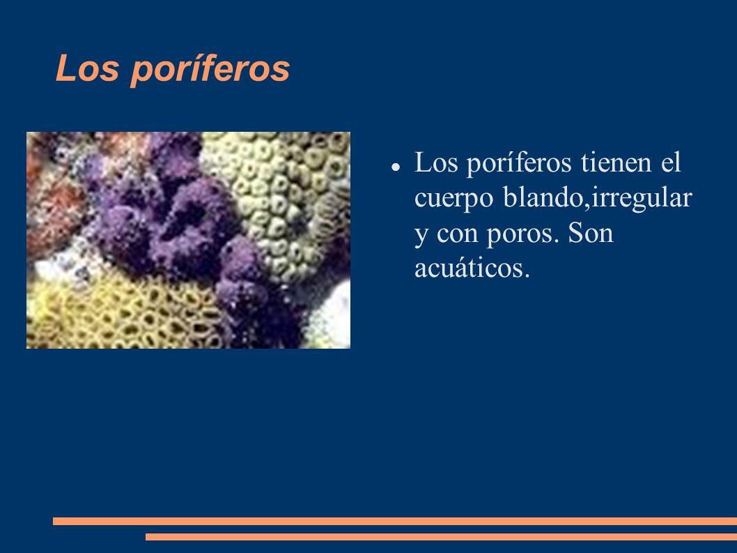 Los poríferos Los poríferos tienen el cuerpo blando,irregular y con poros. Son acuáticos.