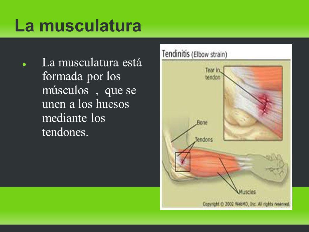 La musculatura La musculatura está formada por los músculos , que se unen a los huesos mediante los tendones.