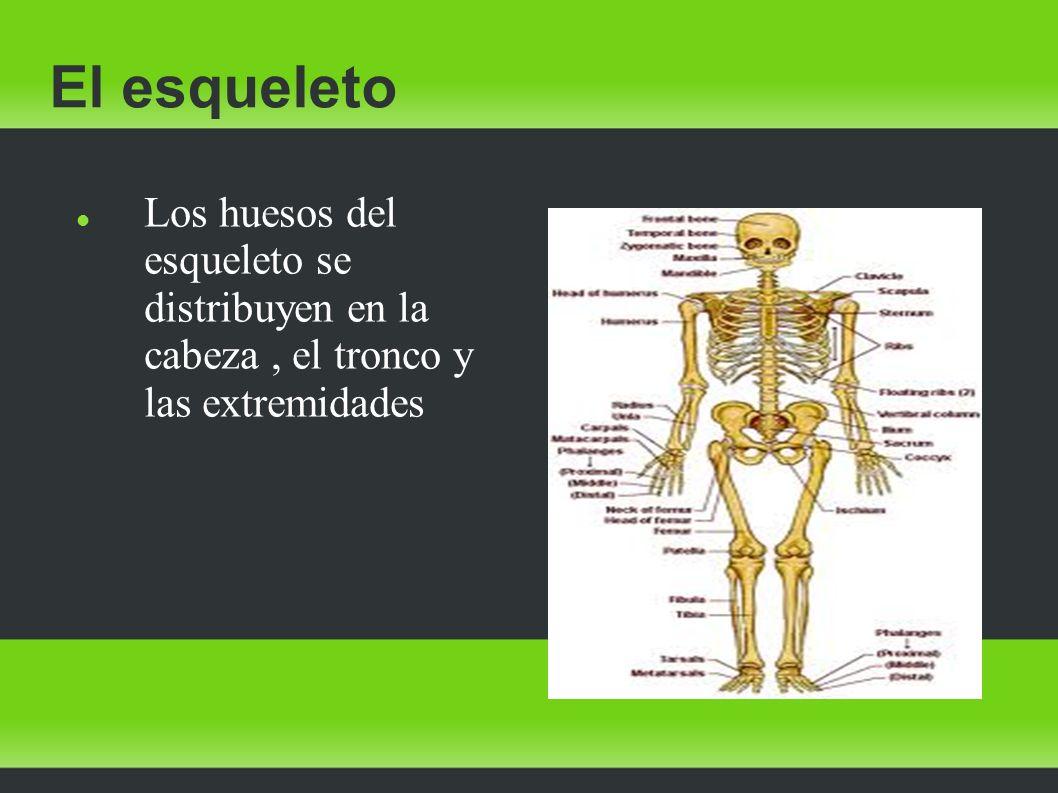 El esqueleto Los huesos del esqueleto se distribuyen en la cabeza , el tronco y las extremidades.