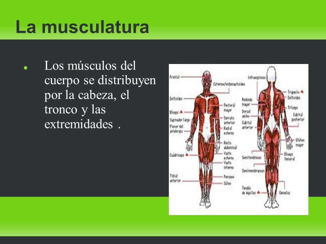 La musculatura Los músculos del cuerpo se distribuyen por la cabeza, el tronco y las extremidades .