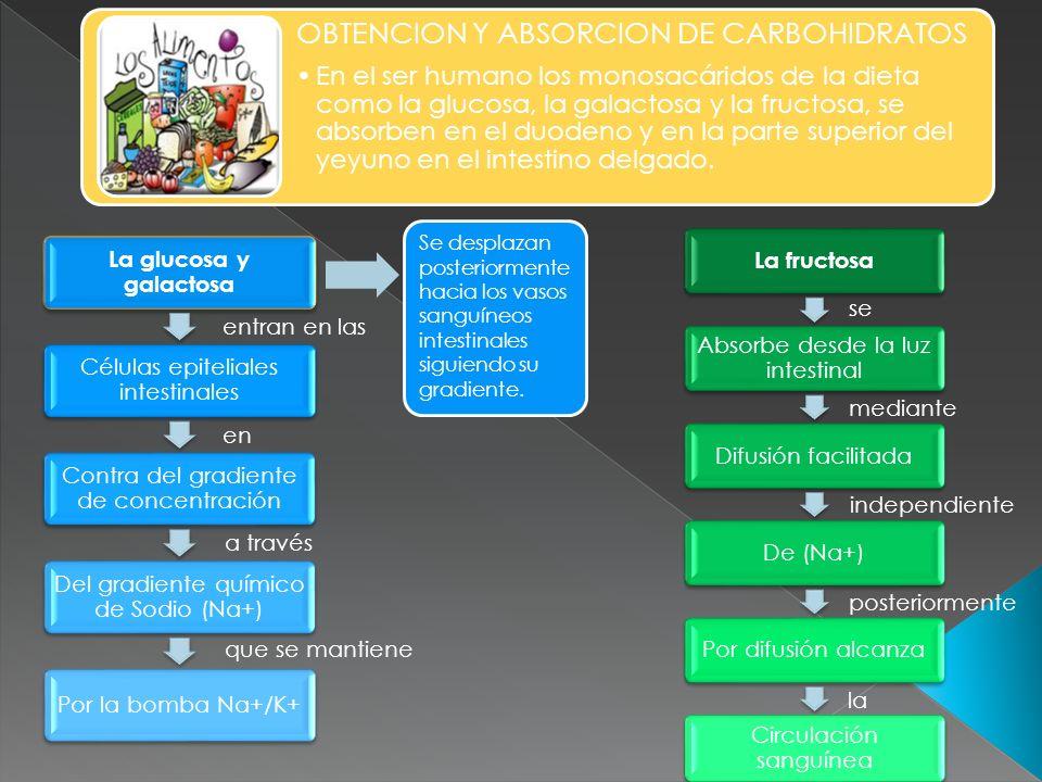OBTENCION Y ABSORCION DE CARBOHIDRATOS