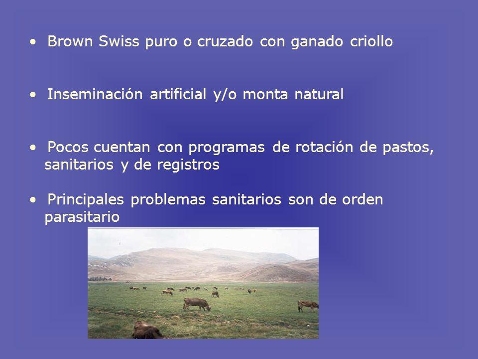 Brown Swiss puro o cruzado con ganado criollo
