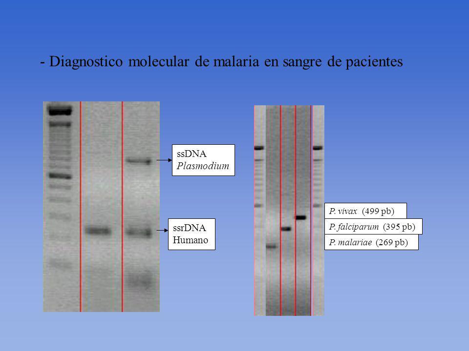 - Diagnostico molecular de malaria en sangre de pacientes