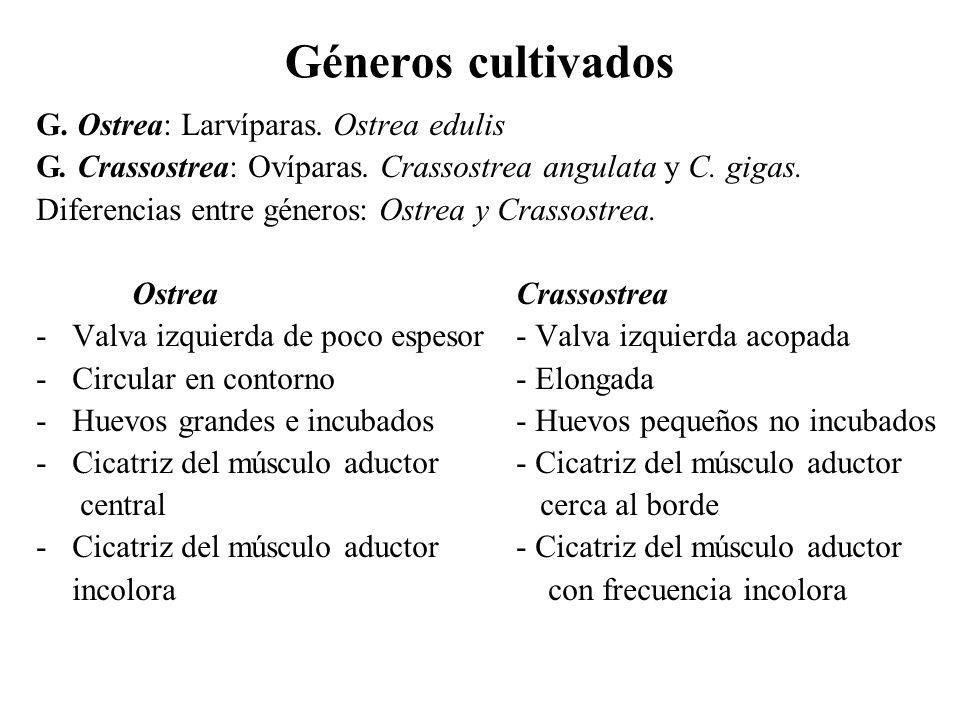 Géneros cultivados G. Ostrea: Larvíparas. Ostrea edulis