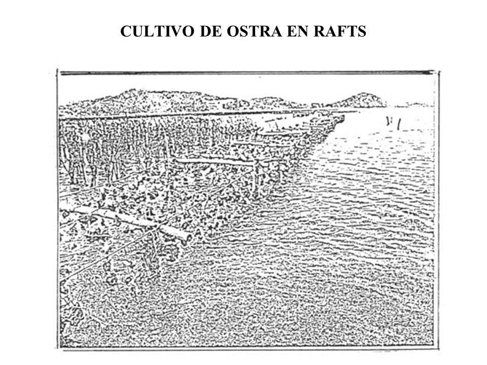 CULTIVO DE OSTRA EN RAFTS