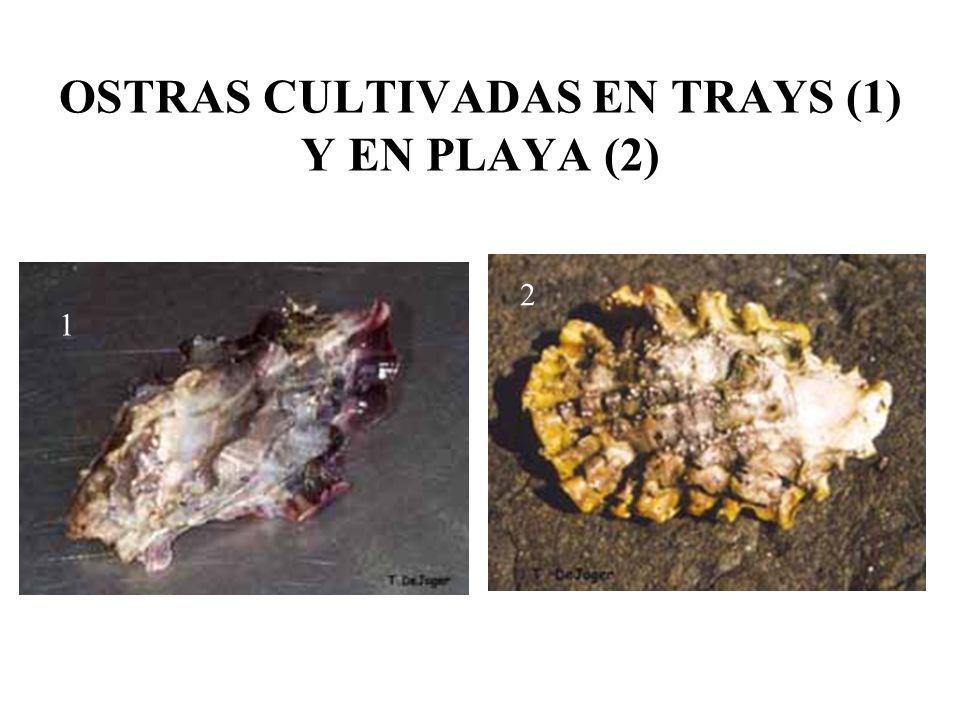 OSTRAS CULTIVADAS EN TRAYS (1) Y EN PLAYA (2)