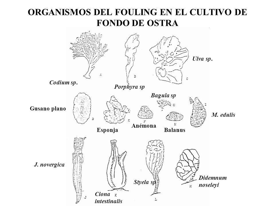 ORGANISMOS DEL FOULING EN EL CULTIVO DE FONDO DE OSTRA