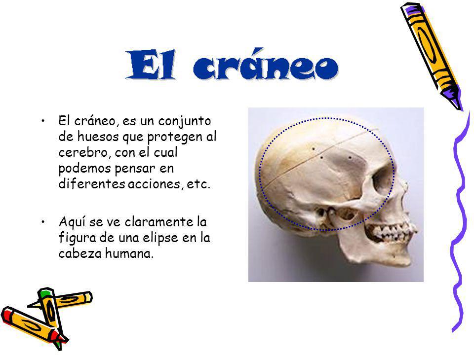 El cráneo, es un conjunto de huesos que protegen al cerebro, con el cual podemos pensar en diferentes acciones, etc.