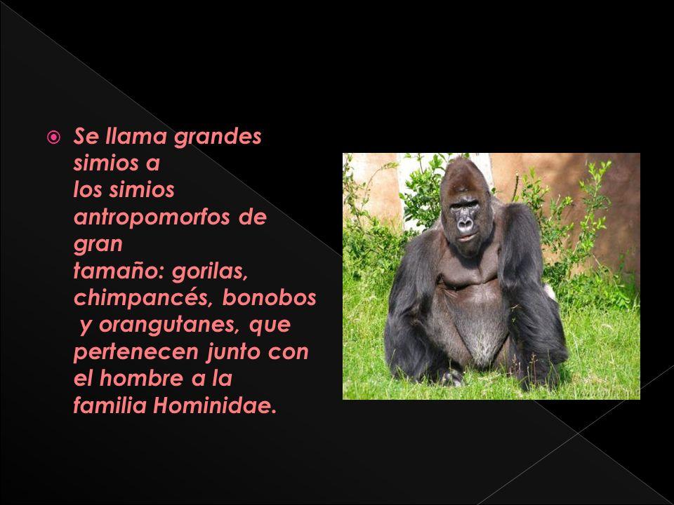 Se llama grandes simios a los simios antropomorfos de gran tamaño: gorilas, chimpancés, bonobos y orangutanes, que pertenecen junto con el hombre a la familia Hominidae.