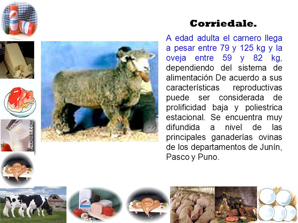 Corriedale.