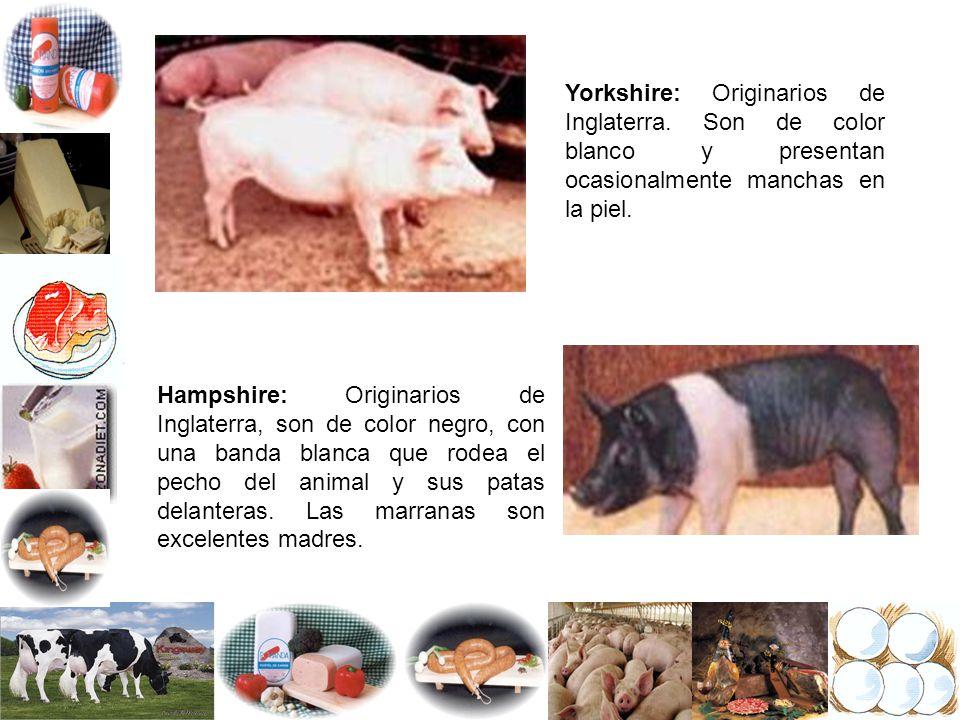 Yorkshire: Originarios de Inglaterra