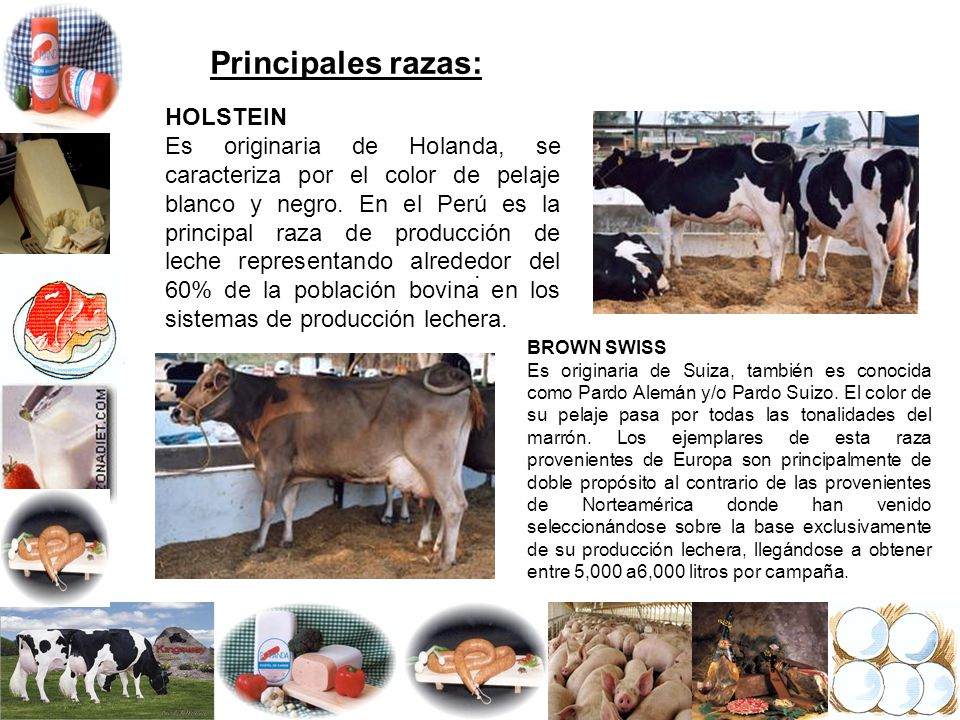 Principales razas: HOLSTEIN