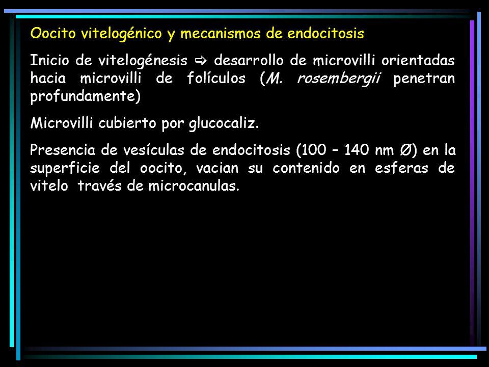 Oocito vitelogénico y mecanismos de endocitosis