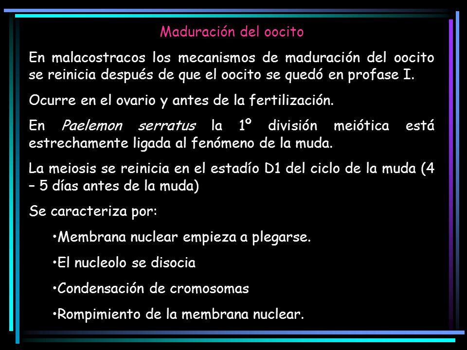 Maduración del oocito En malacostracos los mecanismos de maduración del oocito se reinicia después de que el oocito se quedó en profase I.