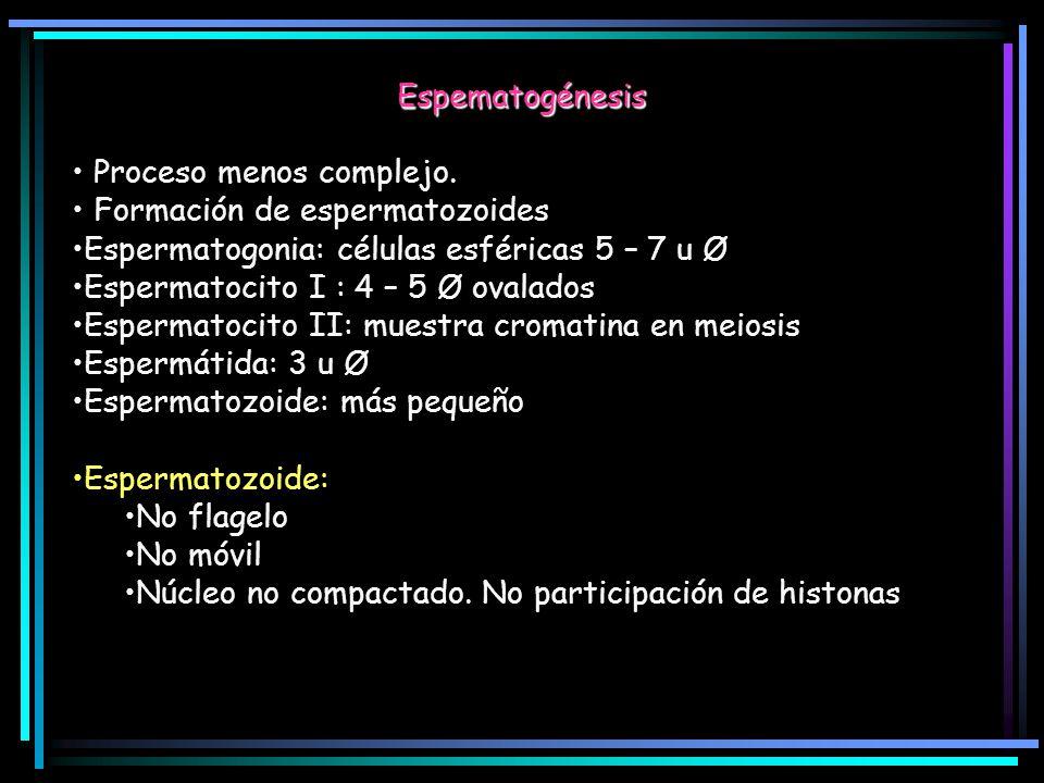 Espematogénesis Proceso menos complejo. Formación de espermatozoides. Espermatogonia: células esféricas 5 – 7 u Ø.