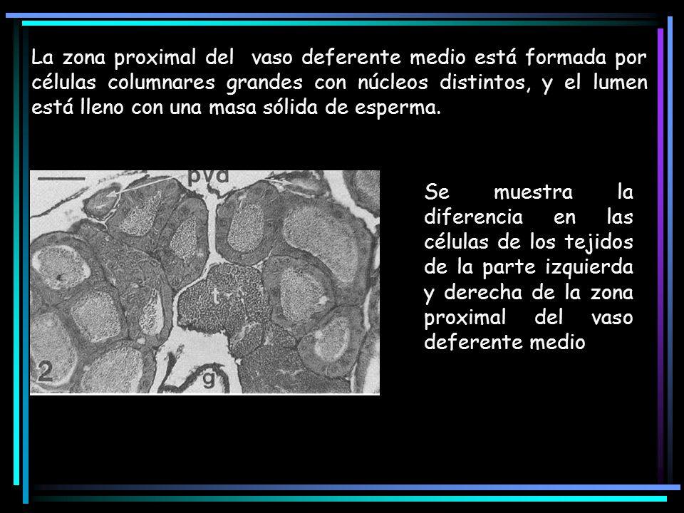 La zona proximal del vaso deferente medio está formada por células columnares grandes con núcleos distintos, y el lumen está lleno con una masa sólida de esperma.
