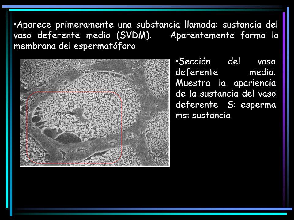 Aparece primeramente una substancia llamada: sustancia del vaso deferente medio (SVDM). Aparentemente forma la membrana del espermatóforo